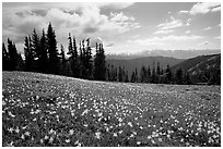 Avalanche lillies, Hurricane ridge. Olympic National Park, Washington, USA. (black and white)