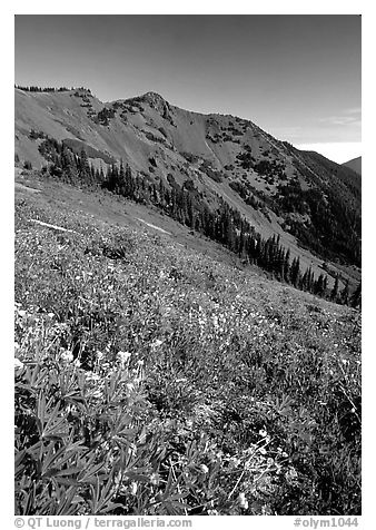 Wildflowers on grassy slope, Hurricane ridge. Olympic National Park (black and white)