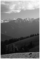 Deer and Olympus Range, Hurricane ridge, afternoon. Olympic National Park, Washington, USA. (black and white)