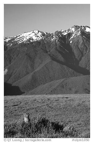 Marmot near Hurricane hill with Olympus Range behind. Olympic National Park (black and white)
