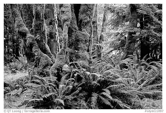 Ferns and moss-covered trunks near Crescent Lake. Olympic National Park (black and white)