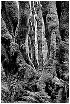 Moss-covered trunks near Crescent Lake. Olympic National Park, Washington, USA. (black and white)