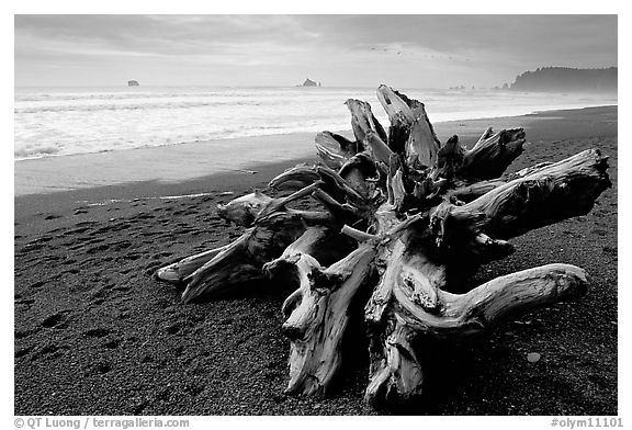 Large roots of driftwood tree, Rialto Beach. Olympic National Park, Washington, USA.