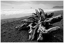 Large roots of driftwood tree, Rialto Beach. Olympic National Park, Washington, USA. (black and white)