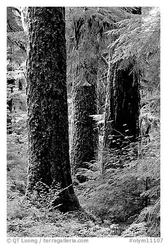 Trunks near Sol Duc falls. Olympic National Park (black and white)