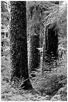 Trunks near Sol Duc falls. Olympic National Park, Washington, USA. (black and white)