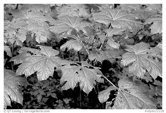 Red berries and leaves. Olympic National Park (black and white)
