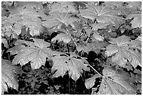 Red berries and leaves. Olympic National Park, Washington, USA. (black and white)