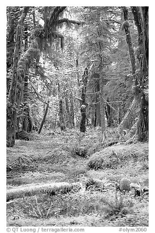 Verdant rain forest, Quinault. Olympic National Park (black and white)