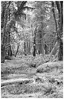 Verdant rain forest, Quinault. Olympic National Park, Washington, USA. (black and white)