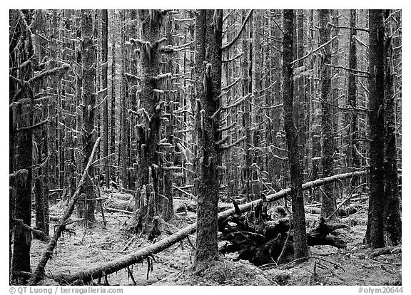 Moss on trunks in Quinault rain forest. Olympic National Park (black and white)