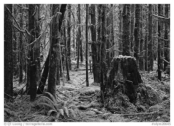 Moss-covered trees in Quinault rainforest. Olympic National Park (black and white)