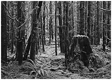 Moss-covered trees in Quinault rainforest. Olympic National Park, Washington, USA. (black and white)
