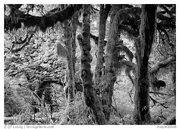 Club moss on vine maple and bigleaf maple in Hoh rain forest. Olympic National Park (black and white)