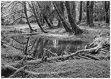 Pond in lush rainforest. Olympic National Park, Washington, USA. (black and white)