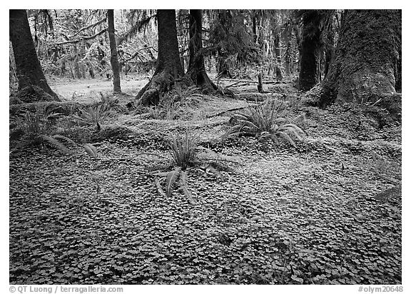 Trilium and ferns in lush rainforest. Olympic National Park (black and white)