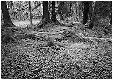 Trilium and ferns in lush rainforest. Olympic National Park, Washington, USA. (black and white)