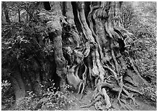 Huge cedar tree. Olympic National Park, Washington, USA. (black and white)