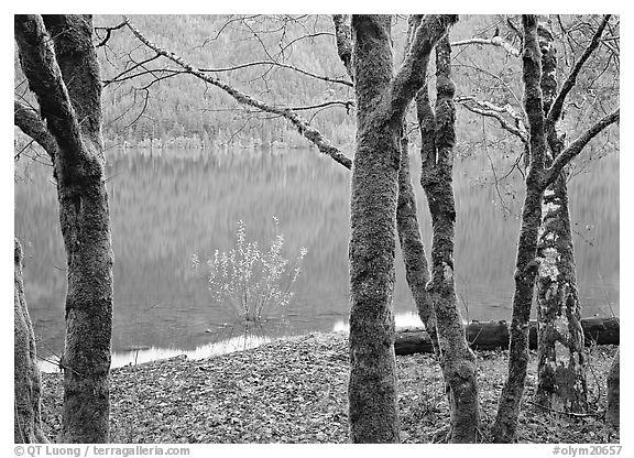 Mossy trees in late autumn and turquoise reflections, Crescent Lake. Olympic National Park (black and white)