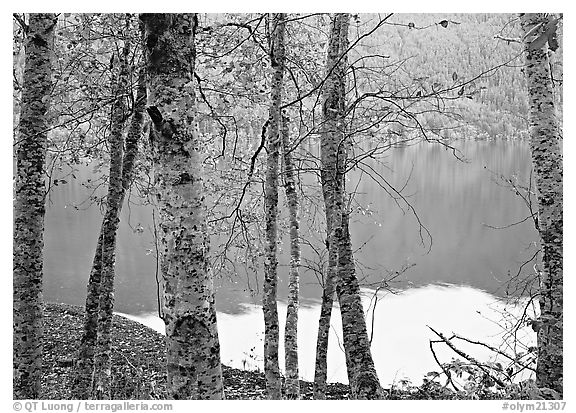 Birch trees with textured trunks and green leaves on shore of Crescent Lake. Olympic National Park (black and white)