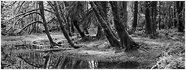 Rainforest pond. Olympic National Park (Panoramic black and white)