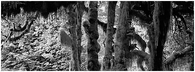 Hoh rainforest. Olympic National Park (Panoramic black and white)