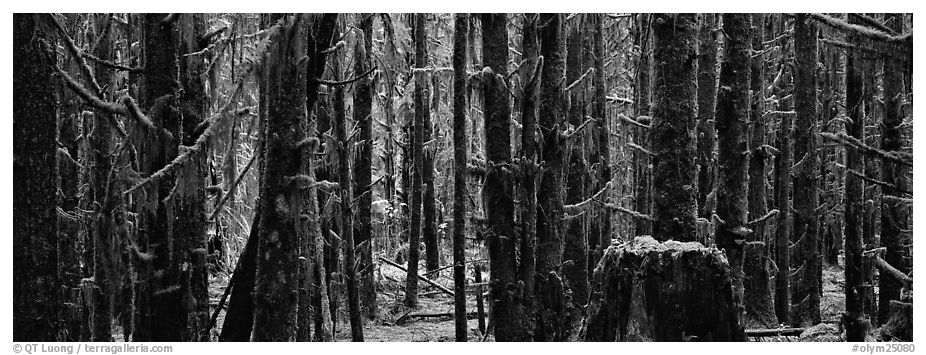 Temperate rainforest. Olympic National Park (black and white)