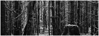 Temperate rainforest. Olympic National Park (Panoramic black and white)