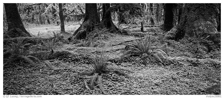Rainforest forest floor. Olympic National Park (black and white)