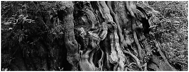 Ancient Cedar trunk. Olympic National Park (Panoramic black and white)