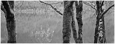 Mossy trees and turquoise lake. Olympic National Park (Panoramic black and white)