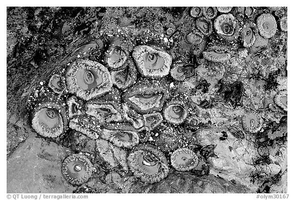 Green anemones on rock at low tide. Olympic National Park (black and white)