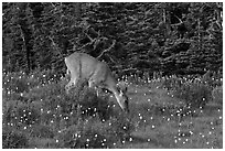 Deer grazing amongst lupine. Olympic National Park, Washington, USA. (black and white)