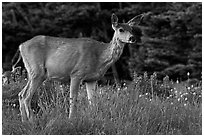 Deer in meadow with lupine. Olympic National Park, Washington, USA. (black and white)
