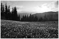 Avalanche lilies at sunset. Olympic National Park, Washington, USA. (black and white)