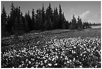 Avalanche lilies in meadow. Olympic National Park, Washington, USA. (black and white)