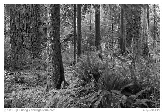 Ferns and trees, Hoh rain forest. Olympic National Park (black and white)