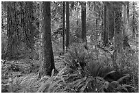 Ferns and trees, Hoh rain forest. Olympic National Park, Washington, USA. (black and white)