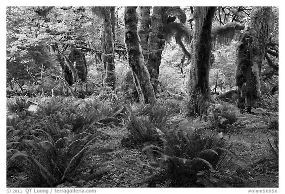 Grove of maple trees covered with epiphytic spikemoss. Olympic National Park (black and white)