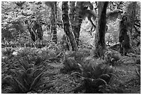Grove of maple trees covered with epiphytic spikemoss. Olympic National Park, Washington, USA. (black and white)