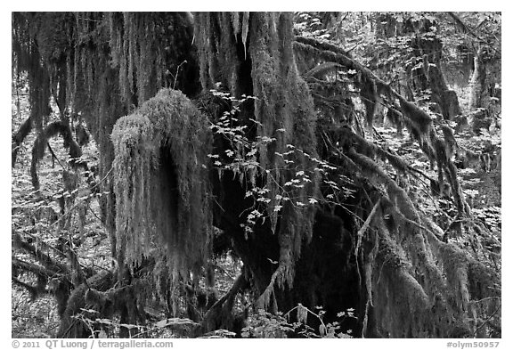 Hall of Mosses,  Hoh rain forest. Olympic National Park (black and white)