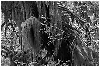 Hall of Mosses,  Hoh rain forest. Olympic National Park, Washington, USA. (black and white)