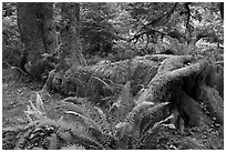 Tree falling on fallen tree, Hoh rainforest. Olympic National Park, Washington, USA. (black and white)
