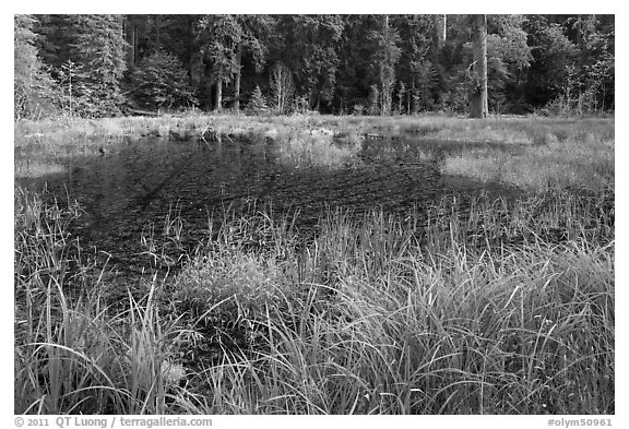 Dark pond, Hoh rain forest. Olympic National Park (black and white)