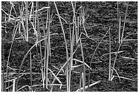 Grasses and black pond water. Olympic National Park ( black and white)