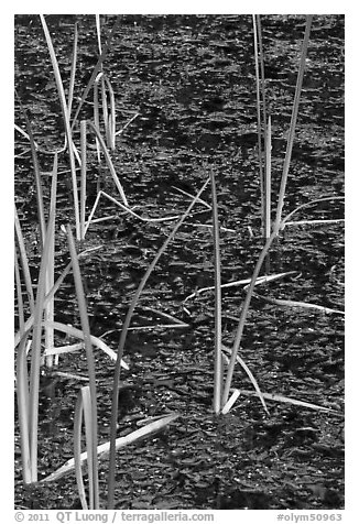 Reeds and stagnant water. Olympic National Park (black and white)