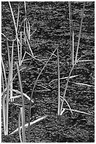 Reeds and stagnant water. Olympic National Park ( black and white)