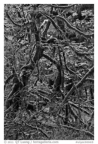 Trees and mosses, Hoh rainforest. Olympic National Park (black and white)