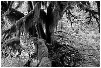 Moss-covered old tree in Hoh rainforest. Olympic National Park, Washington, USA. (black and white)