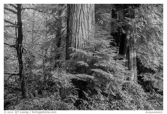 Forest, July Creek,. Olympic National Park (black and white)